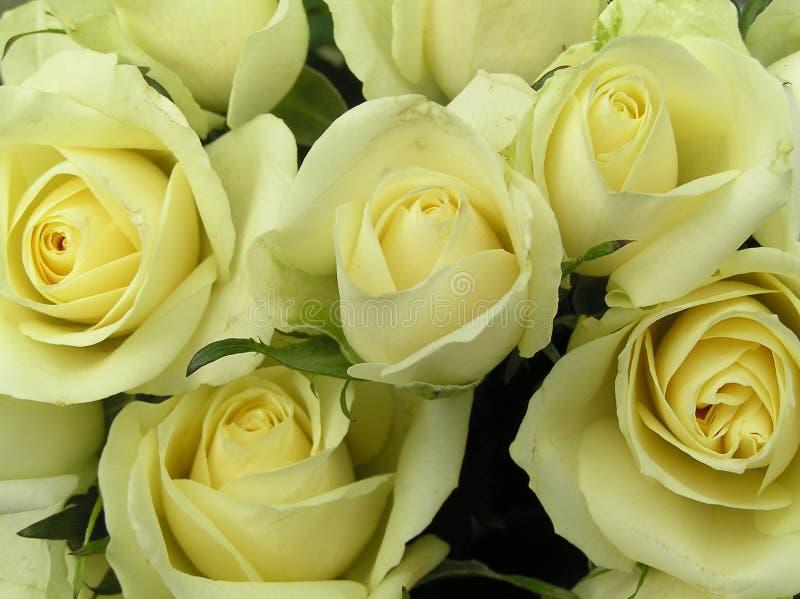 空白乳脂状的玫瑰 库存图片