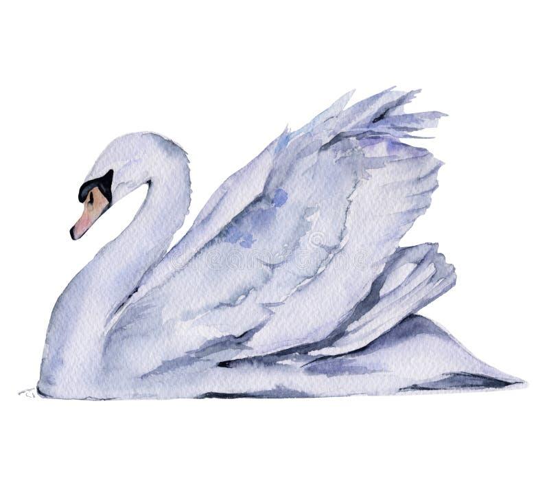 空白天鹅 背景查出的白色 皇族释放例证