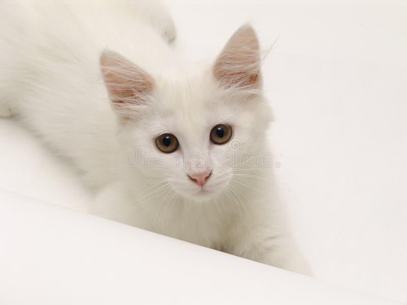 空白小猫 免版税库存图片