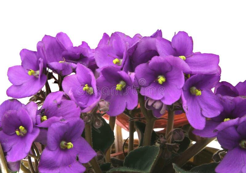 空白束新的紫罗兰 图库摄影