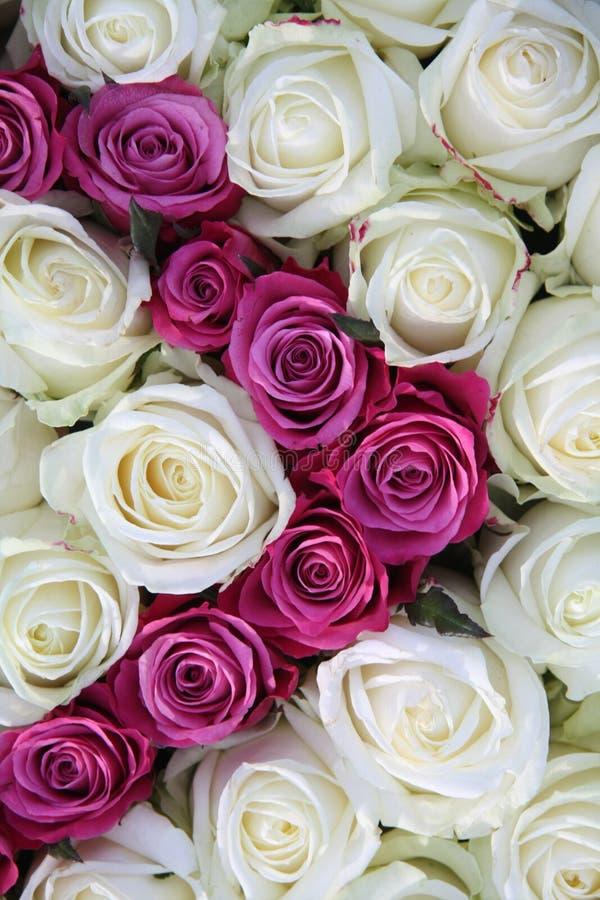 空白桃红色的玫瑰 库存图片