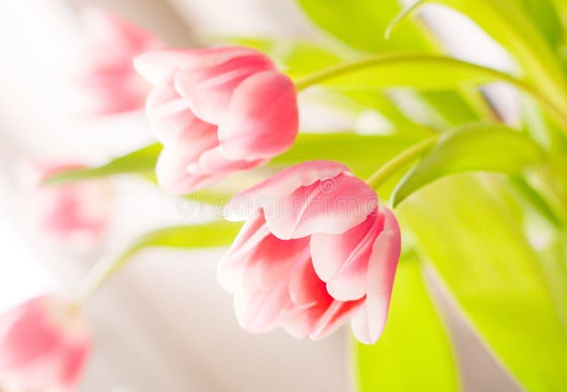 空白桃红色的郁金香 免版税图库摄影