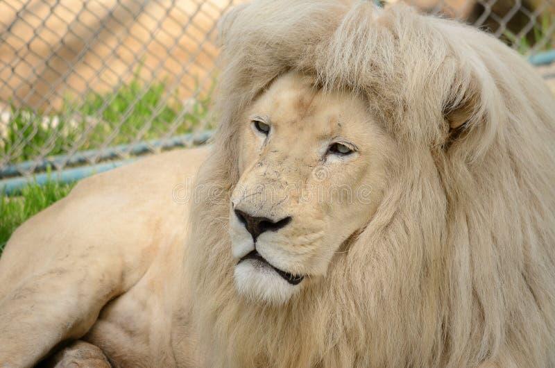空白狮子纵向 免版税库存照片