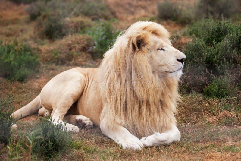 空白狮子 库存图片