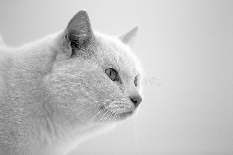 空白猫 免版税图库摄影