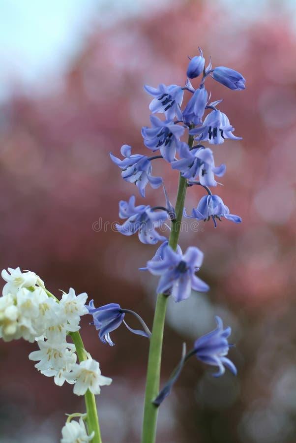 空白的会开蓝色钟形花的草 免版税库存图片