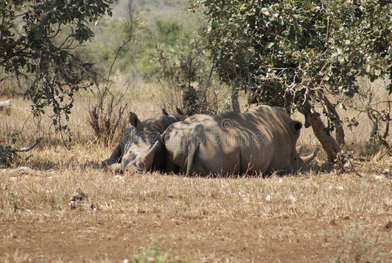 空白的犀牛 免版税库存图片