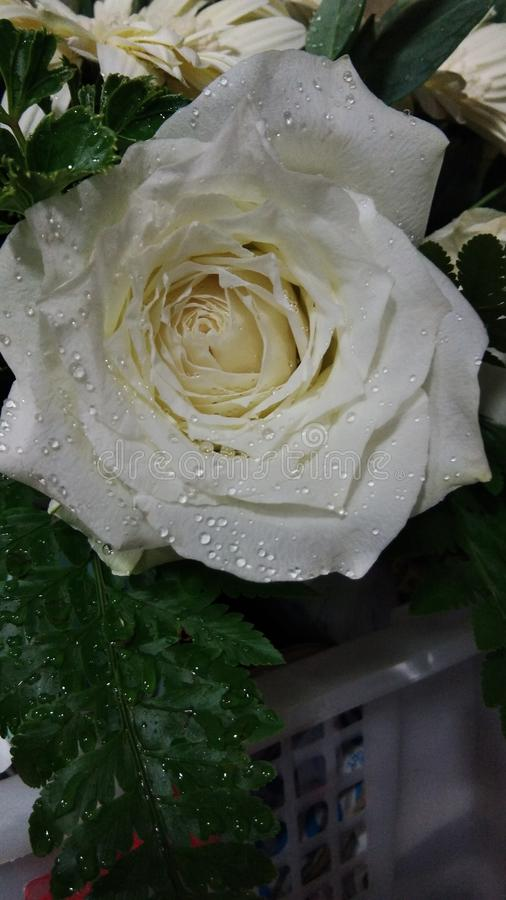 空白的玫瑰 图库摄影
