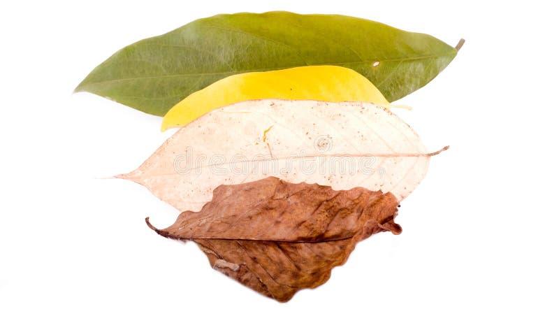 空白的秋叶 免版税库存图片