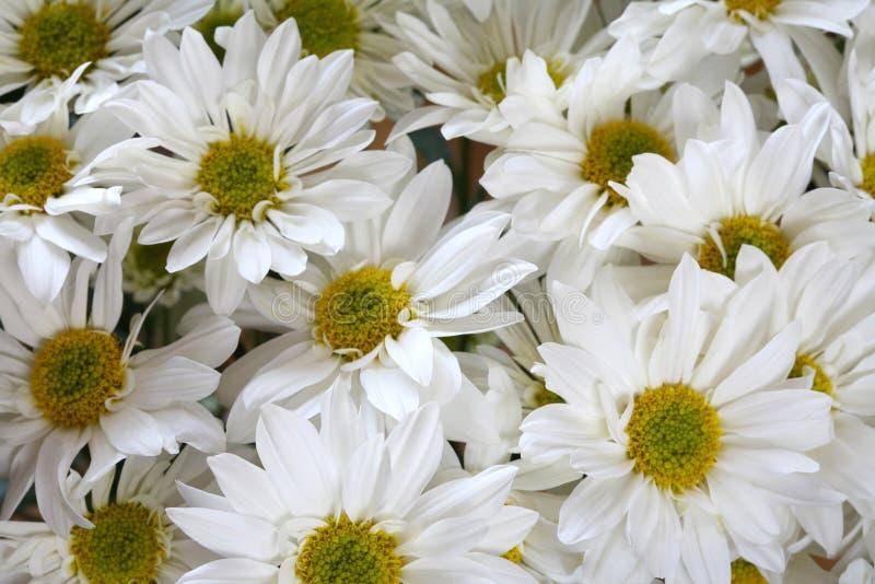 空白的雏菊 库存图片