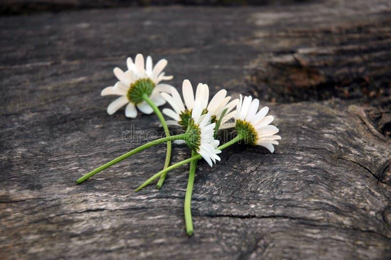 空白的daisys 库存照片