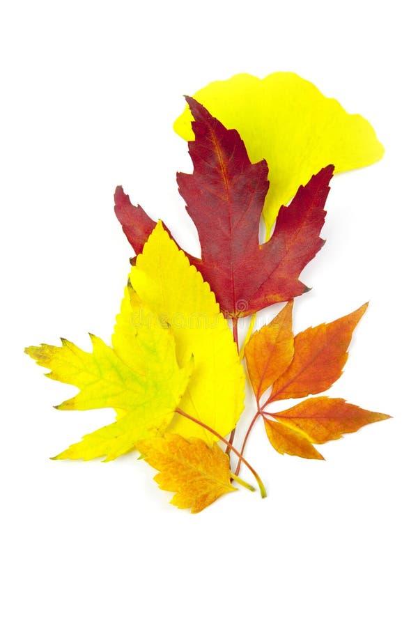 空白秋天美丽的查出的叶子 免版税库存图片