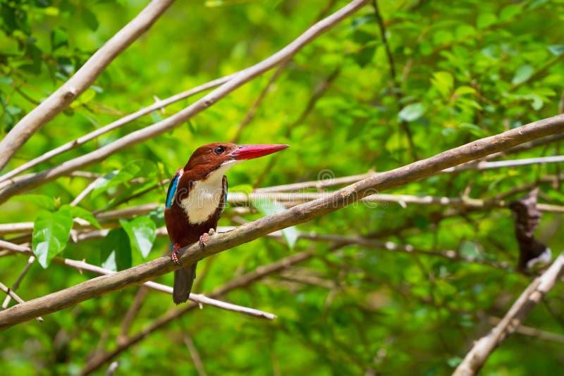 空白红喉刺莺的翠鸟鸟 库存图片