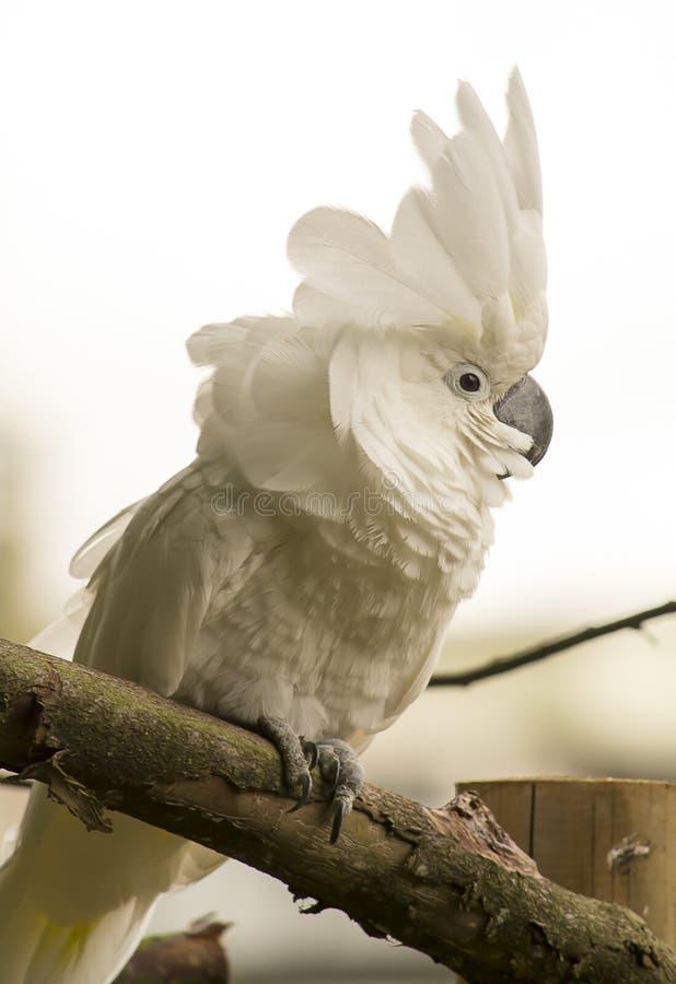 空白美冠鹦鹉 库存图片
