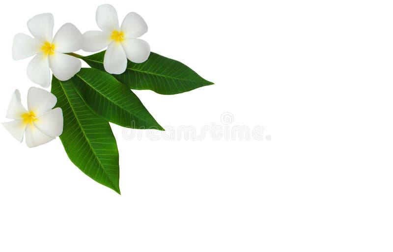 空白羽毛花(杏仁奶油饼)在绿色叶子 库存照片