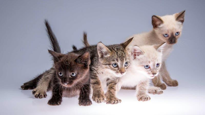 空白背景四的小猫 免版税图库摄影