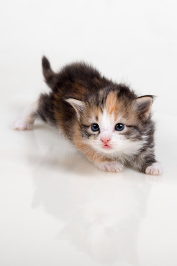 空白背景的小猫 免版税库存图片