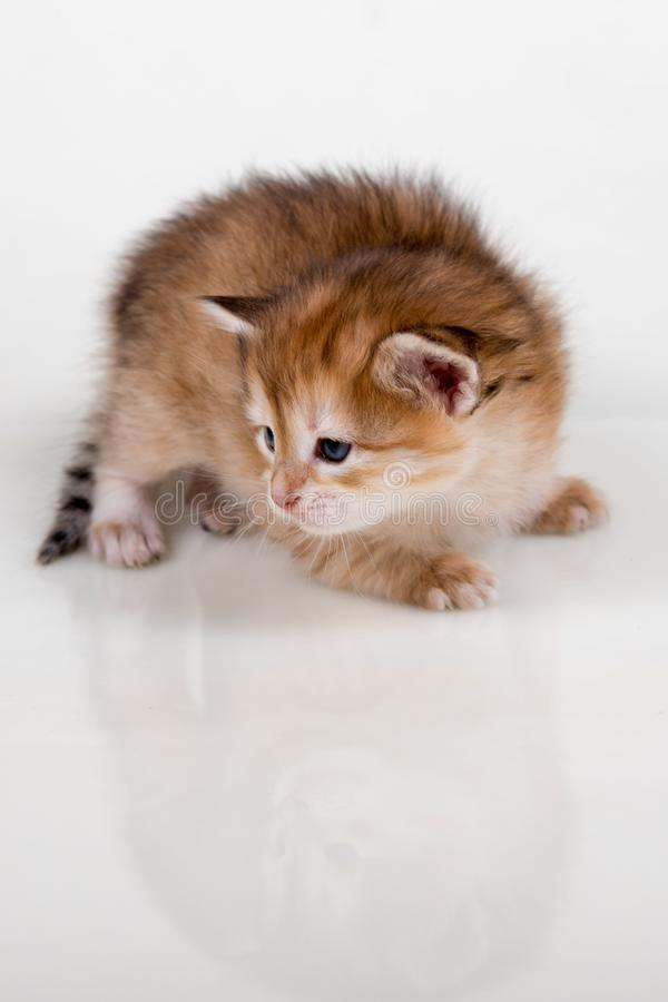 空白背景的小猫 免版税库存照片