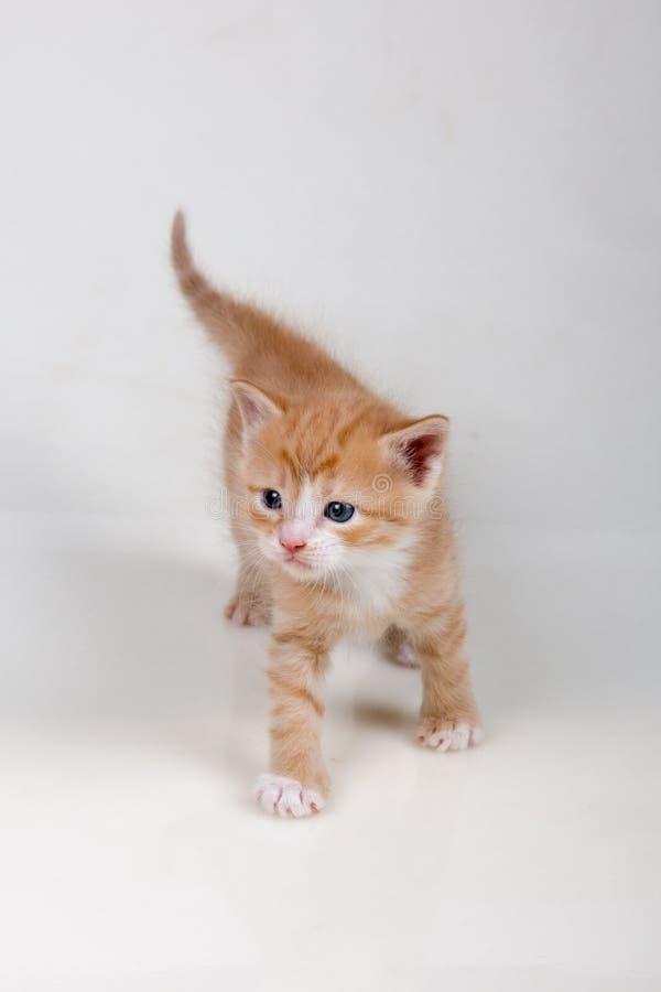 空白背景的小猫 免版税图库摄影