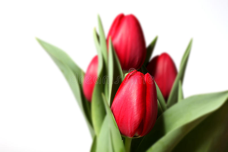 空白背景红色的郁金香 库存图片