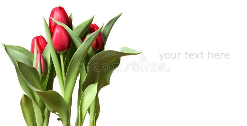 空白背景红色的郁金香 库存照片