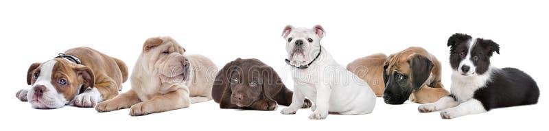 空白背景组大的小狗 图库摄影
