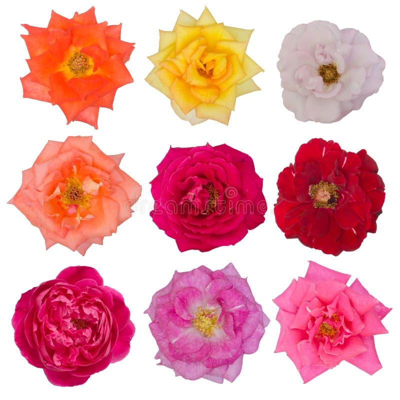空白背景美丽的查出的玫瑰 免版税库存图片