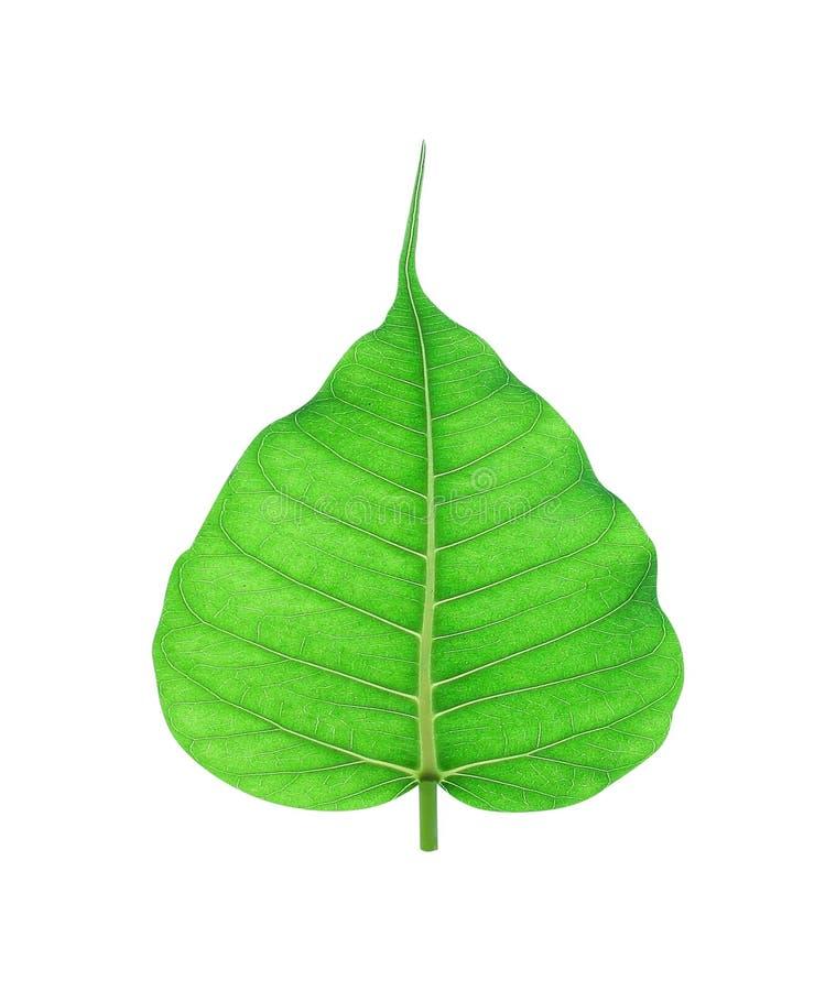 空白背景绿色查出的叶子 库存图片