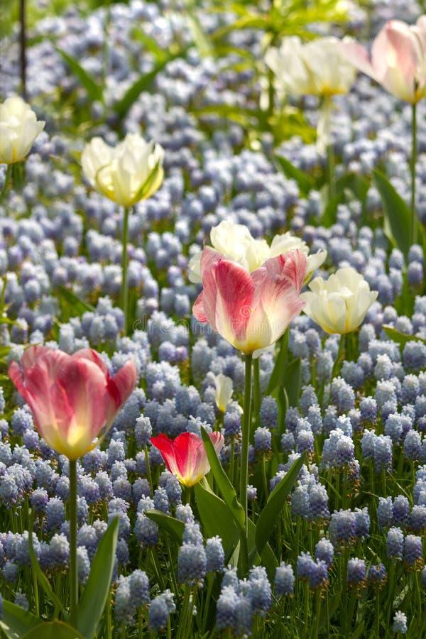 空白蓝色葡萄风信花浅粉红色的郁金香 图库摄影