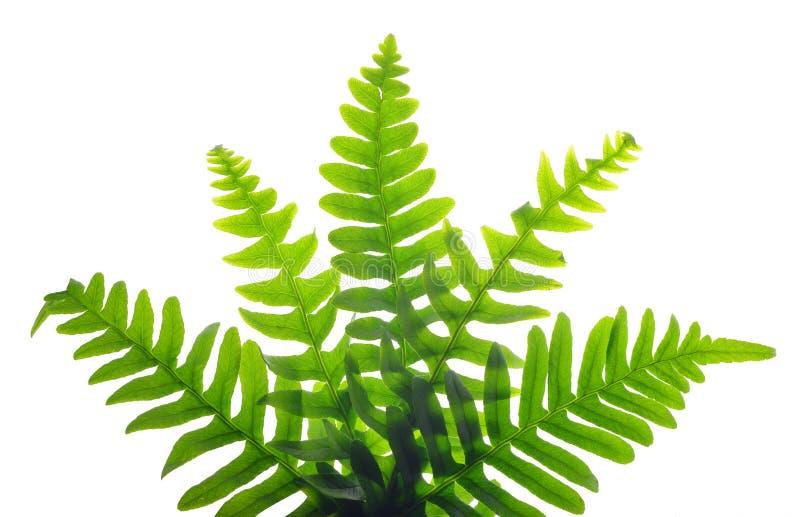 空白蕨绿色查出的叶子 库存照片