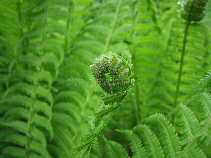 空白蕨绿色查出的叶子 免版税库存照片