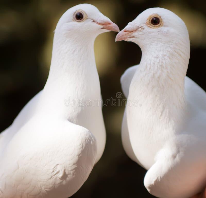 空白鸽子夫妇 免费库存照片