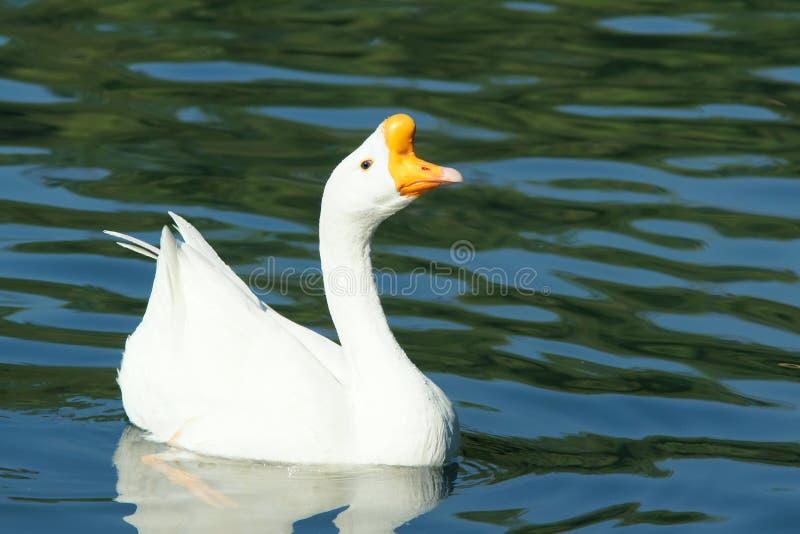 空白鹅 库存图片