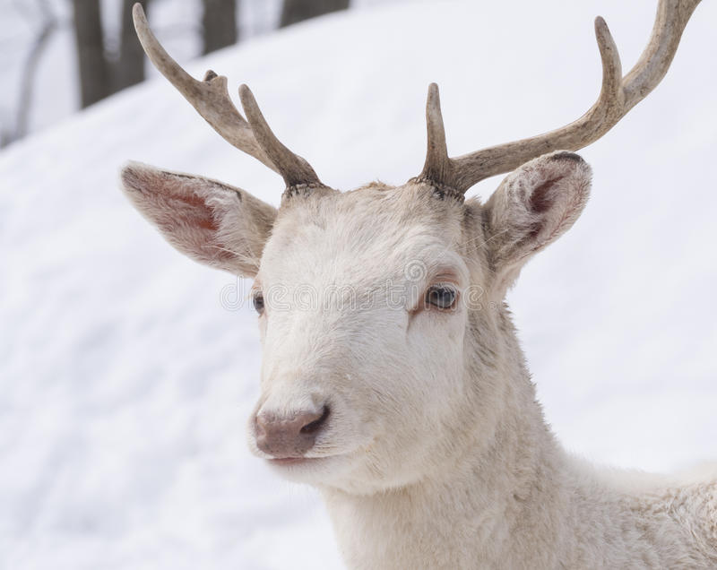 Download 空白鹿 库存照片. 图片 包括有 冬天, 逗人喜爱, 森林, 哺乳动物, 敌意, 的treadled, 抗氧剂 - 72355602