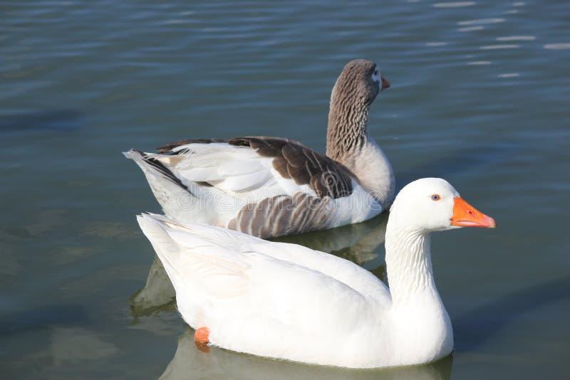 空白2只的鹅 免版税库存照片