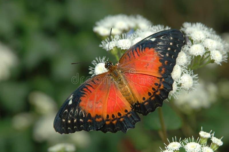空白3朵biblis cethosia的花 免版税库存图片