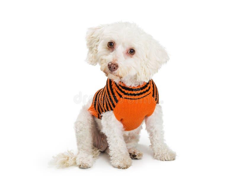 穿万圣夜毛线衣的小狗 免版税库存照片