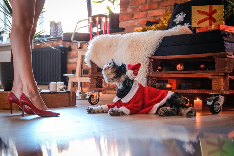 穿圣诞老人的服装的逗人喜爱的苏格兰狗说谎在女孩的腿旁边和查寻在装饰的地板上 免版税图库摄影