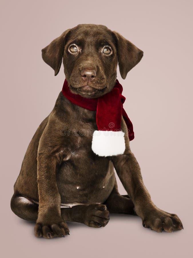 穿圣诞节围巾的一只逗人喜爱的拉布拉多猎犬的画象 免版税图库摄影