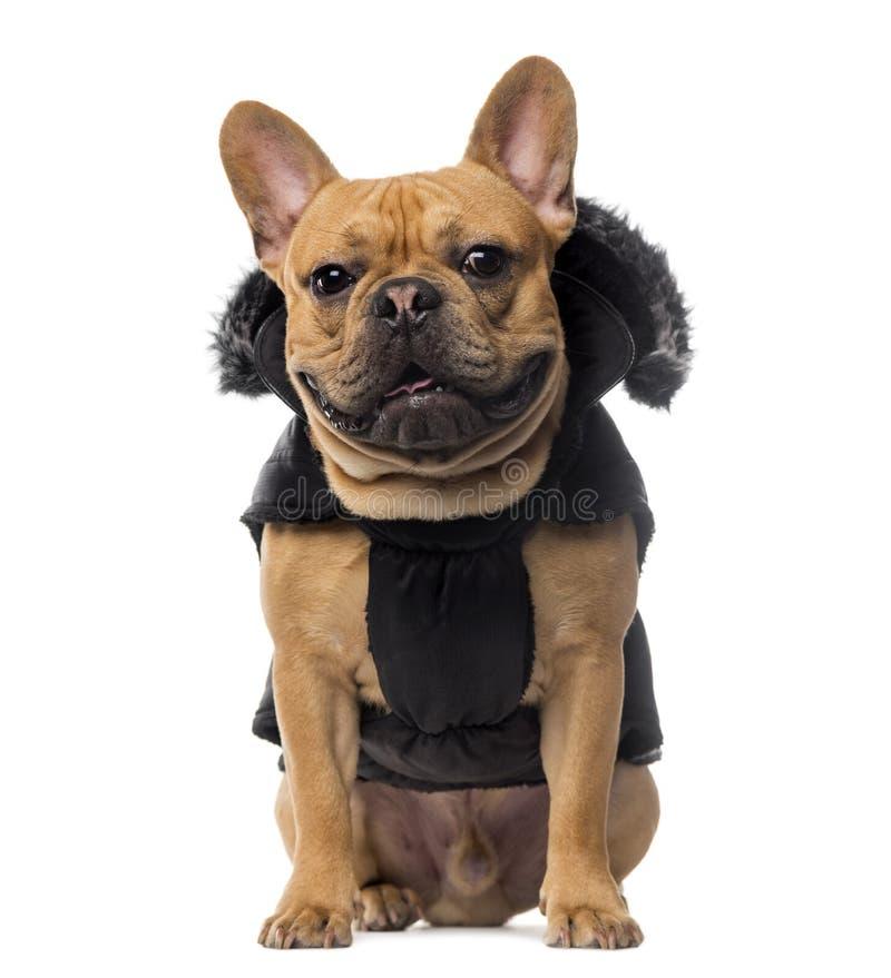 穿在白色背景前面的法国牛头犬一件外套 库存照片