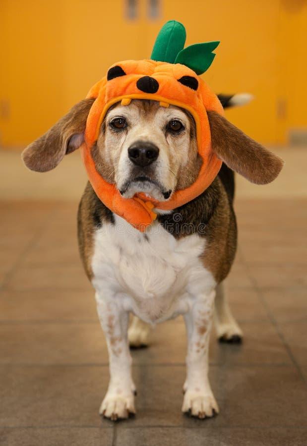 穿在他的头的资深小猎犬一套万圣夜南瓜服装 免版税图库摄影