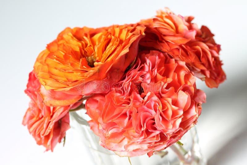 穿戴在缎-您的五颜六色的玫瑰-紧密在白色 免版税库存图片