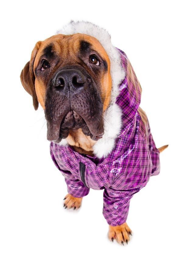 穿戴的Bullmastiff小狗 库存照片