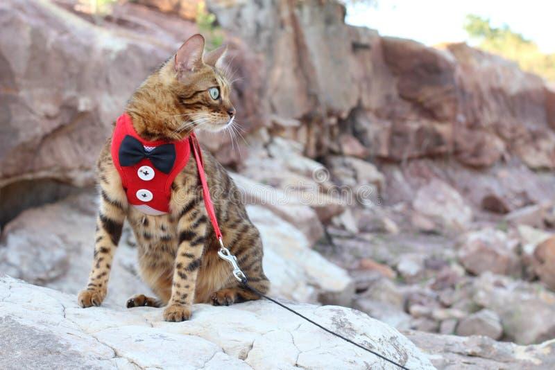 穿无尾礼服的豪华孟加拉猫 免版税库存照片
