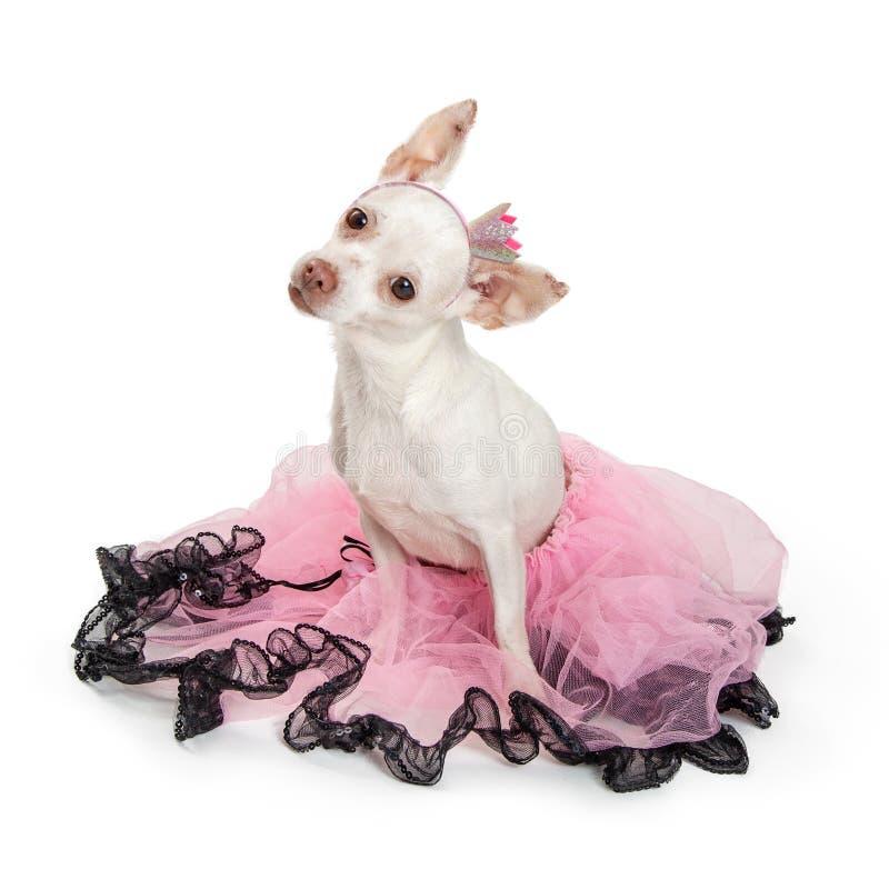 穿桃红色芭蕾舞短裙的白色奇瓦瓦狗狗 库存照片