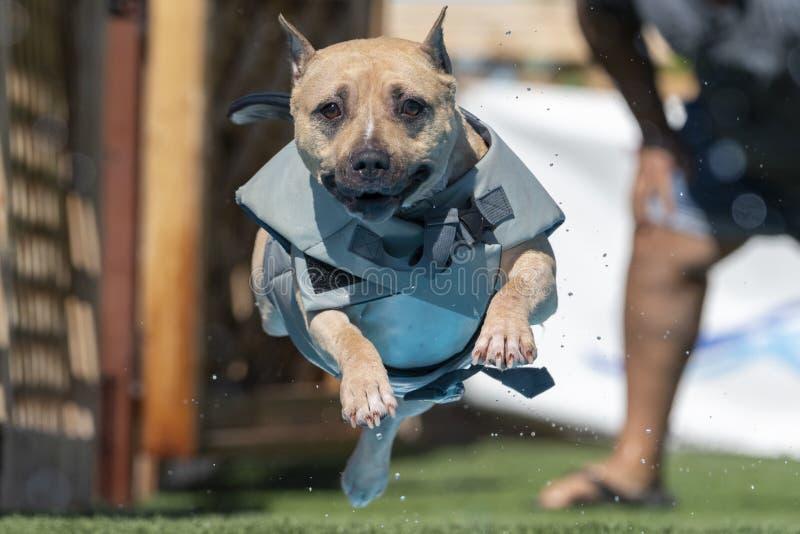 穿泳背心跳入泳池的美国斯塔福德郡梗 库存图片