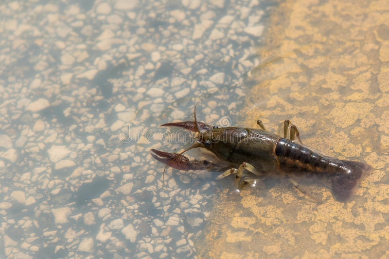 穿过一条被充斥的街道的小龙虾在休斯敦得克萨斯 免版税库存图片