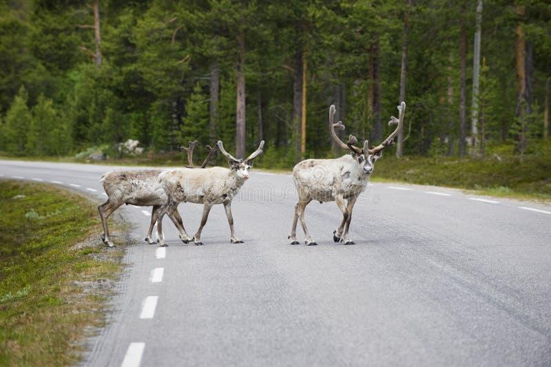 穿过沥青森林公路,挪威的三头野生北鹿 库存照片