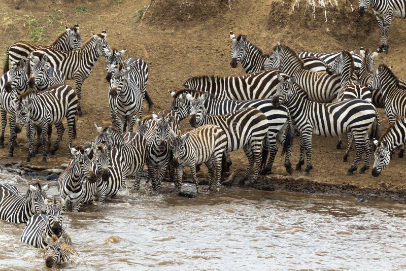 穿过河玛拉的斑马 mara马塞语 库存照片