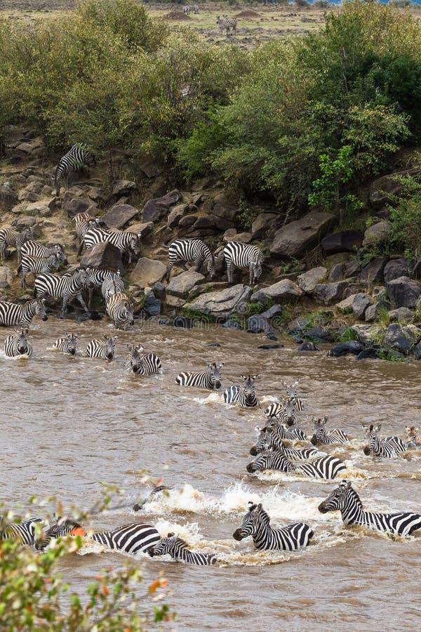穿过玛拉河在肯尼亚 从马塞语玛拉的斑马对塞伦盖蒂,非洲 库存照片